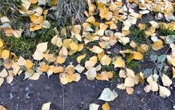 Hojas del abedul amarillo en la tierra desnuda Imagenes de archivo