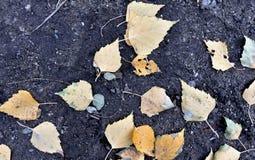 Hojas del abedul amarillo en la tierra desnuda Imagen de archivo