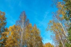 Hojas del abedul amarillo en otoño Fotos de archivo