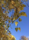 Hojas del abedul amarillo en otoño Fotografía de archivo libre de regalías