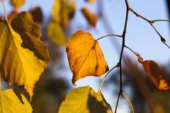 Hojas del abedul amarillo en una rama de árbol Fotografía de archivo