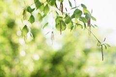 Hojas del abedul con amentos en día de primavera soleado Imagen de archivo libre de regalías