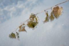 Hojas del abedul cubiertas con escarcha y nieve en tiempo de congelación Imagenes de archivo