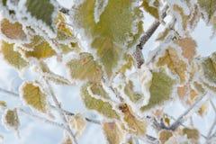 Hojas del abedul cubiertas con escarcha y nieve en tiempo de congelación Fotografía de archivo libre de regalías