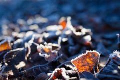 Hojas del abedul de Frost en la tierra Fotografía de archivo libre de regalías