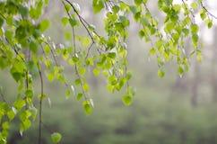 Hojas del abedul de la primavera Imagen de archivo libre de regalías