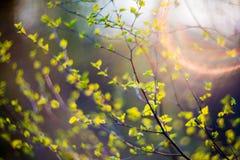 Hojas del abedul de la primavera Foto de archivo libre de regalías