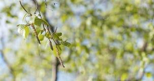 Hojas del abedul de la primavera en el día soleado Foto de archivo libre de regalías
