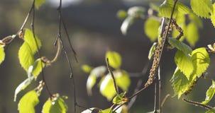 Hojas del abedul de la primavera en el día soleado Fotos de archivo