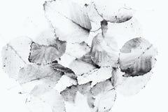 Hojas del abedul de plata adquiridas un lightbox Imagen de archivo libre de regalías