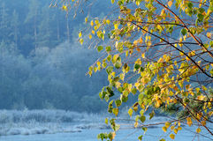 Hojas del abedul del otoño foto de archivo libre de regalías