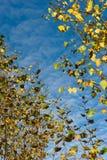 Hojas del abedul del otoño Fotos de archivo libres de regalías