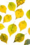 Hojas del abedul del otoño Fotografía de archivo libre de regalías