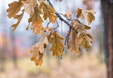 Hojas del abedul del otoño que caen Foto de archivo libre de regalías