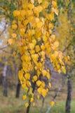 Hojas del abedul del otoño que caen Imagen de archivo libre de regalías