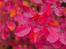 Hojas del abedul del otoño que caen Fotos de archivo libres de regalías