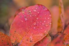 Hojas del abedul del otoño que caen Imagenes de archivo