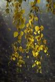 Hojas del abedul después de la lluvia Fotos de archivo