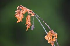 Hojas del abedul en bosque del otoño Imagen de archivo