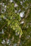 Hojas del abedul en el árbol en naturaleza Fotografía de archivo libre de regalías