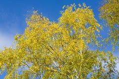 Hojas del abedul en el cielo azul Fotos de archivo libres de regalías