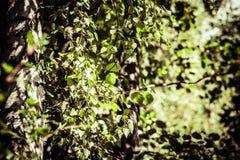 Hojas del abedul en el sol naciente Imagenes de archivo
