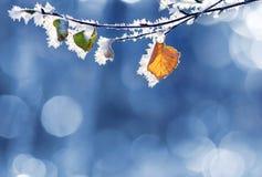 hojas del abedul en la helada Fotografía de archivo libre de regalías