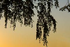 Hojas del abedul en la puesta del sol Foto de archivo