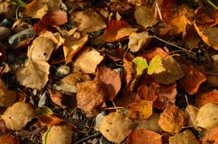 Hojas del abedul en la tierra en otoño Fotografía de archivo