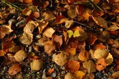 Hojas del abedul en la tierra en otoño Foto de archivo libre de regalías