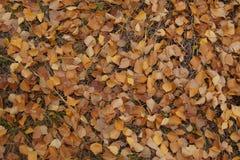 Hojas del abedul en otoño Imagen de archivo