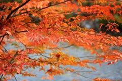 Hojas del abedul en tiempo del otoño Imagen de archivo