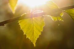 Hojas del abedul en un día de primavera soleado Fotografía de archivo libre de regalías