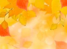 Hojas del abedul rojo y amarillo del otoño descendente Imagen de archivo