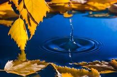 Hojas del abedul sobre el agua con las ondulaciones de las gotas de agua Imagenes de archivo