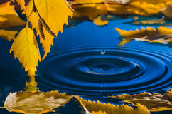 Hojas del abedul sobre el agua con las ondulaciones de las gotas de agua imágenes de archivo libres de regalías