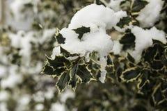 Hojas del acebo con nieve e hielo Imagen de archivo libre de regalías