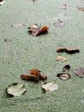 Hojas del aliso en un agua Imagen de archivo