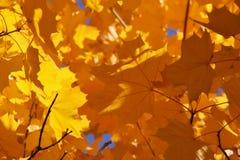 Hojas del amarillo Imágenes de archivo libres de regalías