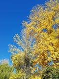 Hojas del amarillo con el cielo azul foto de archivo libre de regalías
