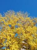 Hojas del amarillo con el cielo azul fotografía de archivo libre de regalías
