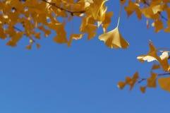 Hojas del amarillo con el fondo del cielo azul Fotos de archivo libres de regalías