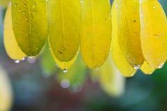 Hojas del amarillo con las gotas de la lluvia Imagen de archivo