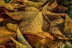 Hojas del amarillo con rocío Foto de archivo