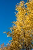 Hojas del amarillo contra el cielo azul Fotografía de archivo libre de regalías