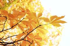 Hojas del amarillo de la castaña en una rama Fotografía de archivo libre de regalías