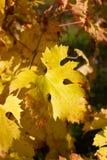 Hojas del amarillo de la planta de la uva Foto de archivo