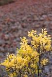 Hojas del amarillo de un árbol Foto de archivo libre de regalías