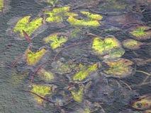 Hojas del amarillo de una planta de agua debajo del lago congelado fotos de archivo libres de regalías