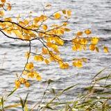 Hojas del amarillo del abedul en otoño Imágenes de archivo libres de regalías